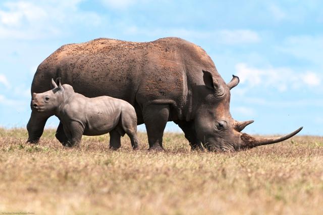 WhiteRhino-Laikipia-Wildlife-Forum